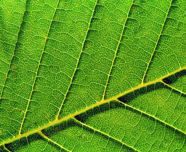 Wall Art - Photograph - Veins In Horse Chestnut Leaf by Adam Hart-davis/science Photo Library