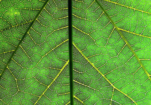 Connection Photograph - Veins Of A Leaf by Mark Mawson