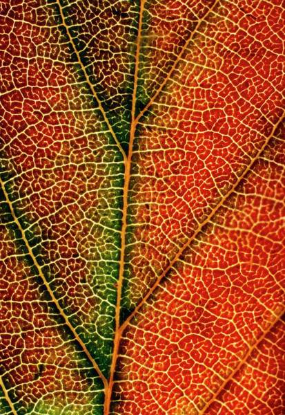 Leaf Venation Wall Art - Photograph - Veins Of Morello Cherry Leaf by Dr Jeremy Burgess/science Photo Library