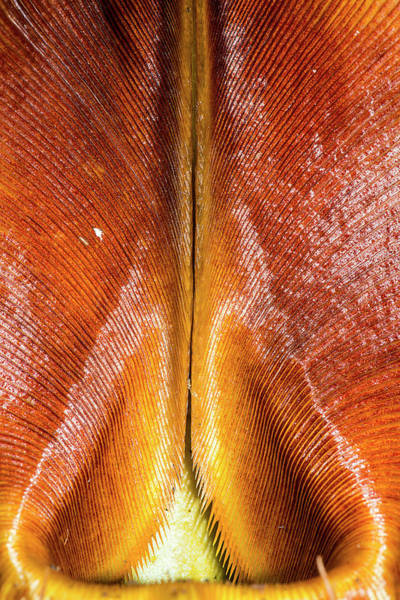 Pitcher Plant Photograph - Veitch's Pitcher Plant by Scubazoo/science Photo Library