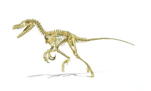 Cretaceous Wall Art - Photograph - Velociraptor Dinosaur Skeleton by Leonello Calvetti/science Photo Library