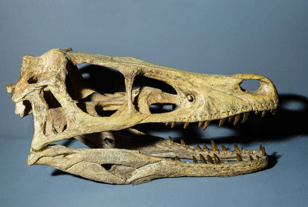 Photograph - Velociraptor Dinosaur Skull Replica by Millard H Sharp