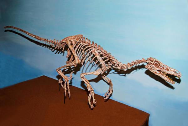 Photograph - Velociraptor Skeleton by Millard H Sharp