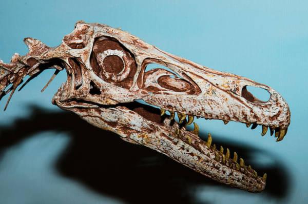 Photograph - Velociraptor Skull by Millard H Sharp