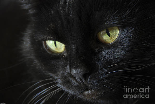 Black Cats Photograph - Velvet by Anne Gilbert