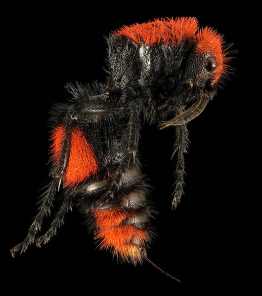 Bee Sting Photograph - Velvet Ant by Us Geological Survey/science Photo Library