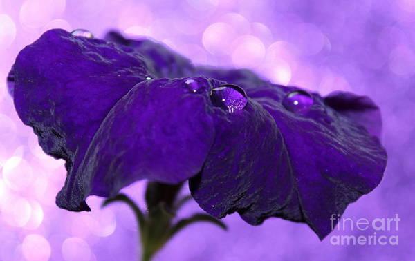 Petunia Photograph - Velvet Tears by Krissy Katsimbras