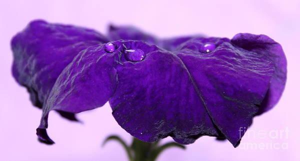 Petunias Photograph - Velveteen Petunia by Krissy Katsimbras
