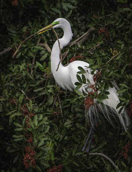 Photograph - Venice Rookery Egret by Donald Brown