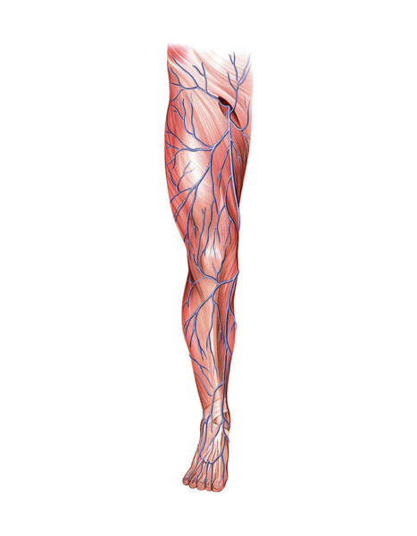 Anatomical Wall Art - Photograph - Venous System Of The Lower Limb by Asklepios Medical Atlas