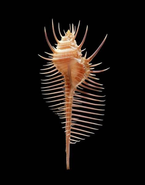 Biological Photograph - Venus Comb Murex Sea Snail Shell by Gilles Mermet