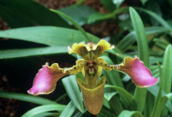 Slipper Photograph - Venus Slipper Orchid (paphiopedilum Sp.) by Sally Mccrae Kuyper/science Photo Library