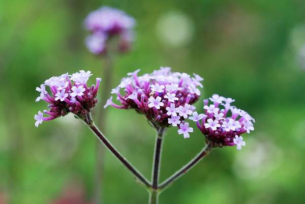 Perennial Photograph - Verbena Bonariensis by Anthony Cooper/science Photo Library
