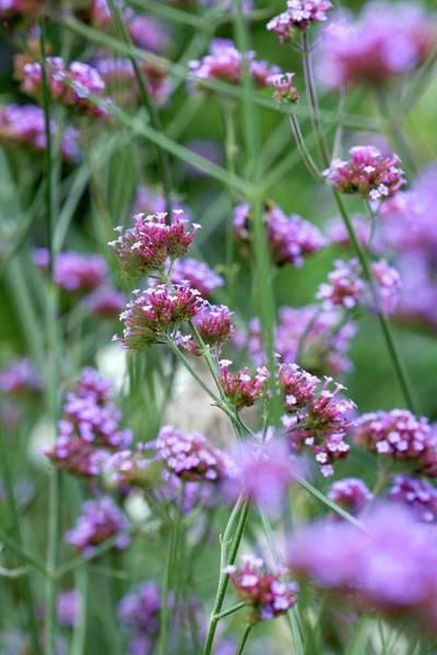 Wall Art - Photograph - Verbena Flowers (verbena Sp.) by Rachel Warne/science Photo Library