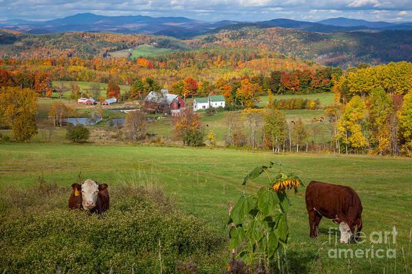 Photograph - Vermont Cowscape by Susan Cole Kelly