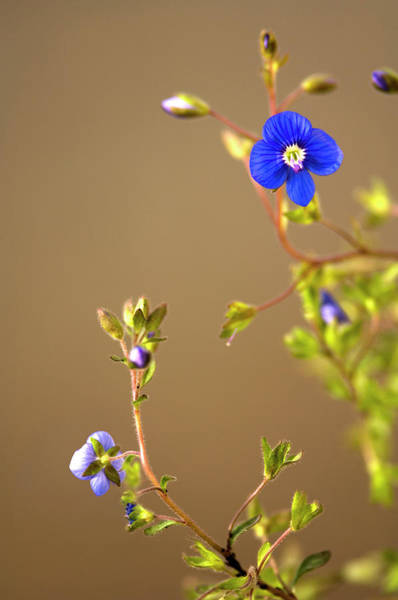 Veronica Photograph - Veronica Flower by Maria Mosolova/science Photo Library