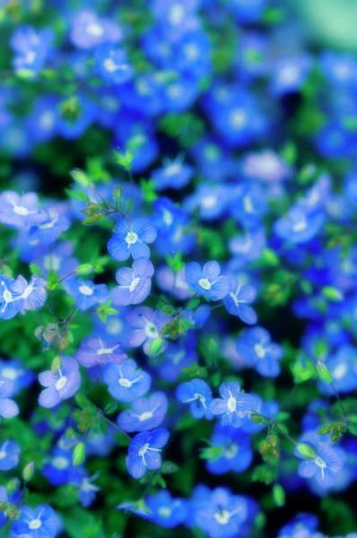 Veronica Photograph - Veronica Flowers (veronica Peduncularis) by Maria Mosolova/science Photo Library