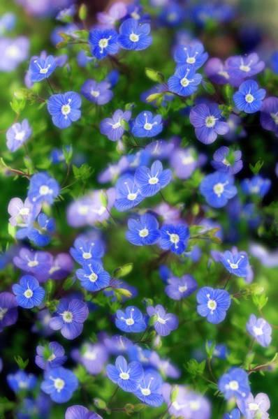 Veronica Photograph - Veronica Peduncularis 'georgia Blue' by Maria Mosolova/science Photo Library