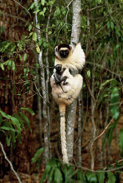 Lemur Wall Art - Photograph - Verraeaux's Sifaka Lemur Mother And Baby by Tony Camacho/science Photo Library