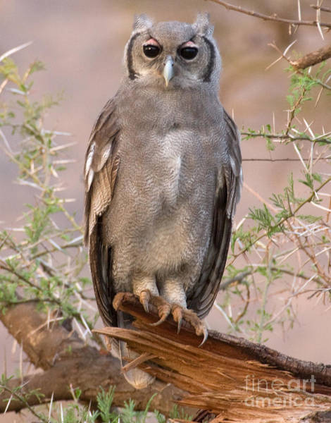 Photograph - Verreaux Eagle-owl by Chris Scroggins