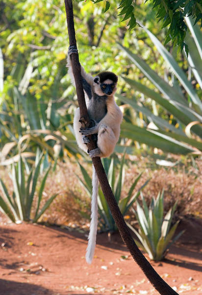 Wall Art - Photograph - Verreaux's Sifaka Lemur by John Devries/science Photo Library