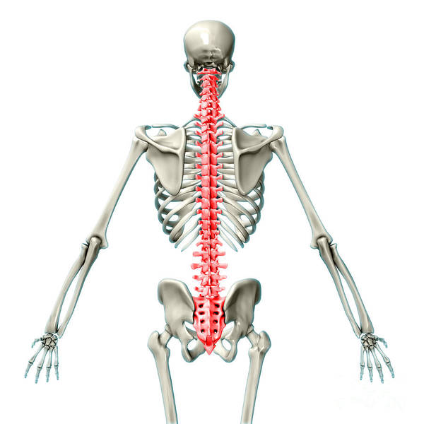 Photograph - Vertebral Column, Illustration by Evan Oto