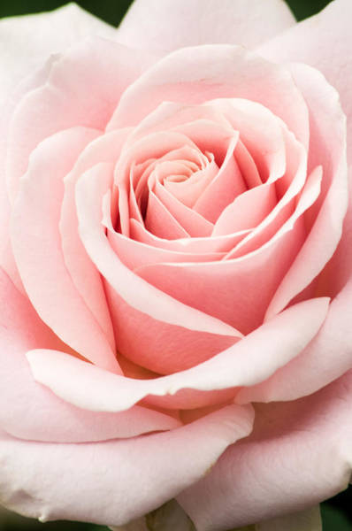 Don Johnson Photograph - Vertical Pink Rose by Don Johnson