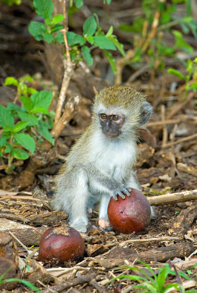 Tarangire Photograph - Vervet Monkey Holding A Seed Pod by Panoramic Images
