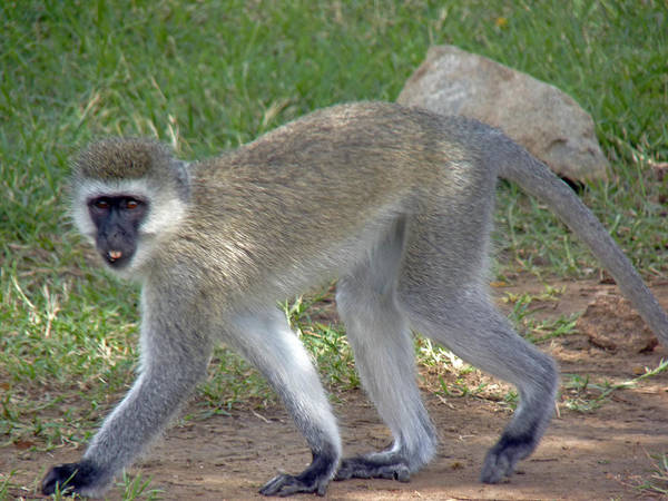 Photograph - Vervet Monkey by Tony Murtagh