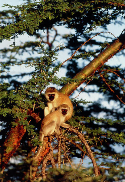 Old World Monkey Photograph - Vervet Monkeys (cercopithecus Aethiops) In A Tree by William Ervin/science Photo Library