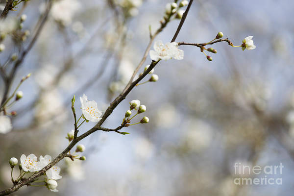 Wall Art - Photograph - Very Nearly Spring by Anne Gilbert