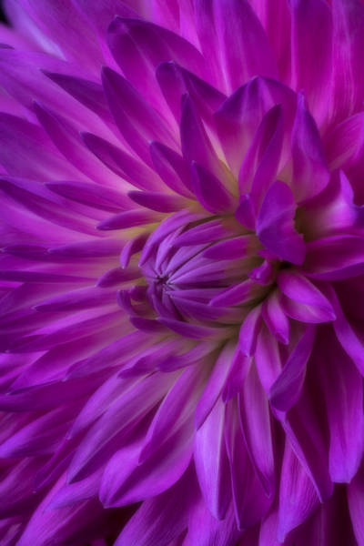 Softly Photograph - Very Pink Dahlia by Garry Gay
