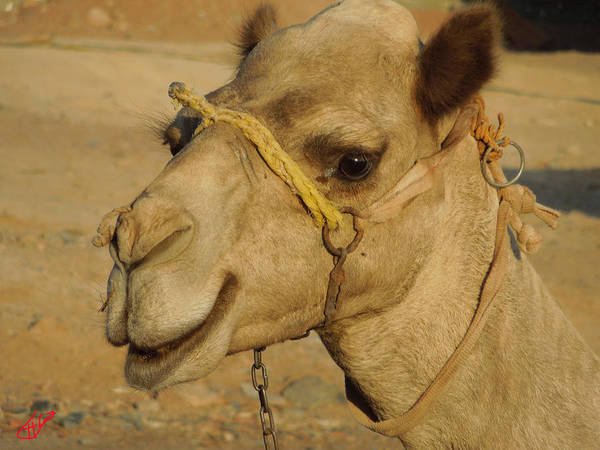 Photograph - Very Young Camel In Sinai Egypt by Colette V Hera  Guggenheim