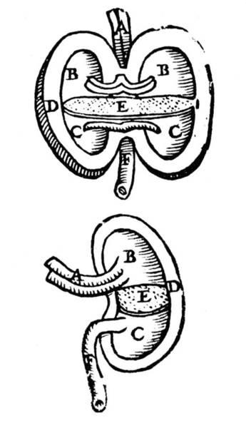 De Humani Corporis Fabrica Photograph - Vesalius: Kidneys, 1543 by Granger