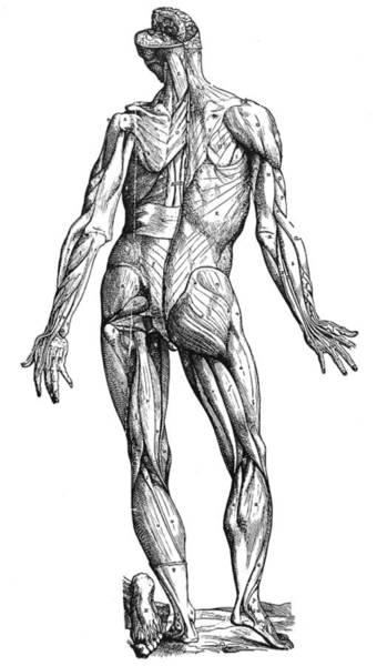 De Humani Corporis Fabrica Photograph - Vesalius: Muscles, 1543 by Granger