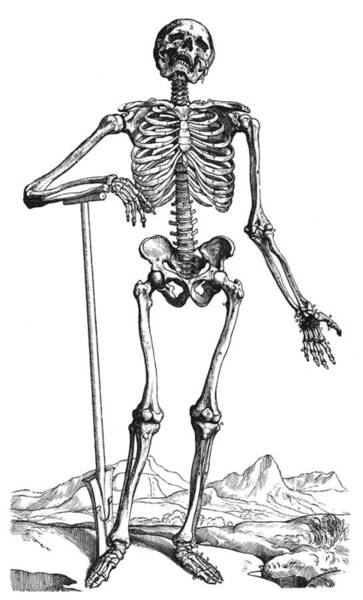 De Humani Corporis Fabrica Photograph - Vesalius: Skeletal System by Granger