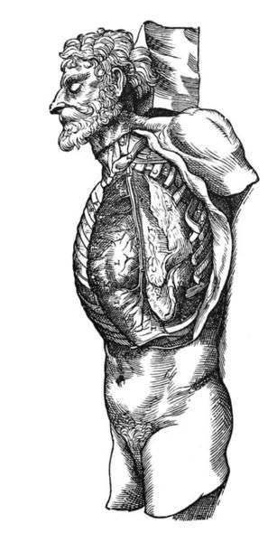 De Humani Corporis Fabrica Photograph - Vesalius: Thoracic Cavity by Granger
