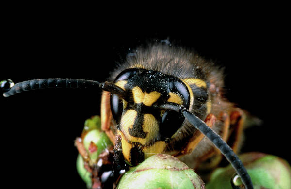 Wasp Photograph - Vespula Vulagaris by Dr.mike Mcnamee/science Photo Library