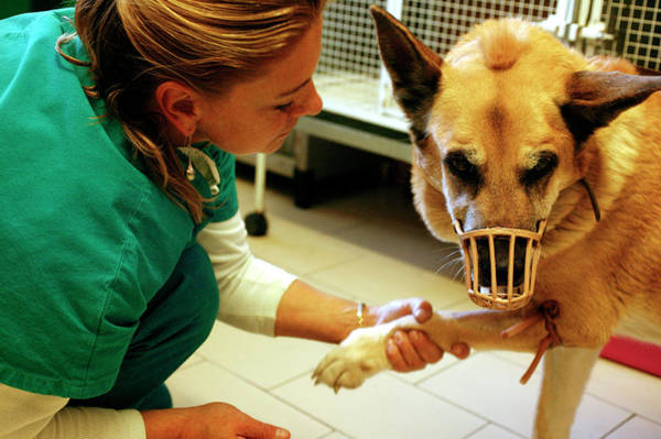 German Shepherd Photograph - Vet And Alsatian by Mauro Fermariello/science Photo Library