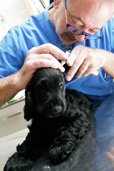 Wall Art - Photograph - Vet Examining A Dog's Ears by Mauro Fermariello/science Photo Library