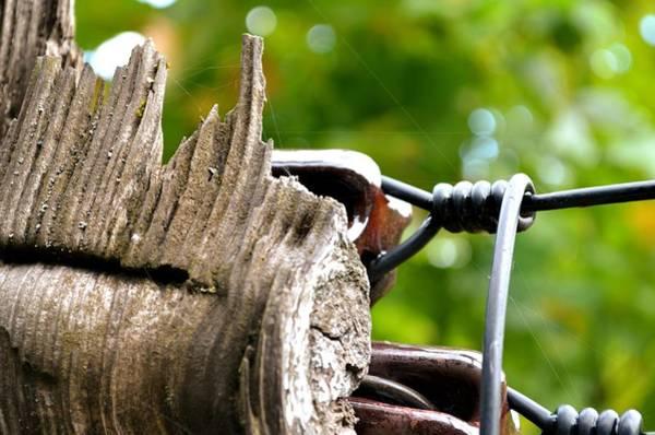 Photograph - Veteran Timber by Laureen Murtha Menzl