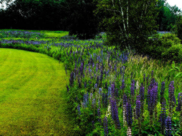 Photograph - A Vibrant Bend In The Lupines by Wayne King