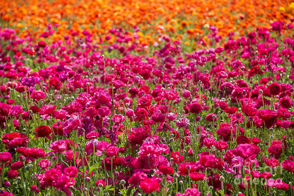 Wall Art - Photograph - Vibrant Flower Field by Julia Hiebaum
