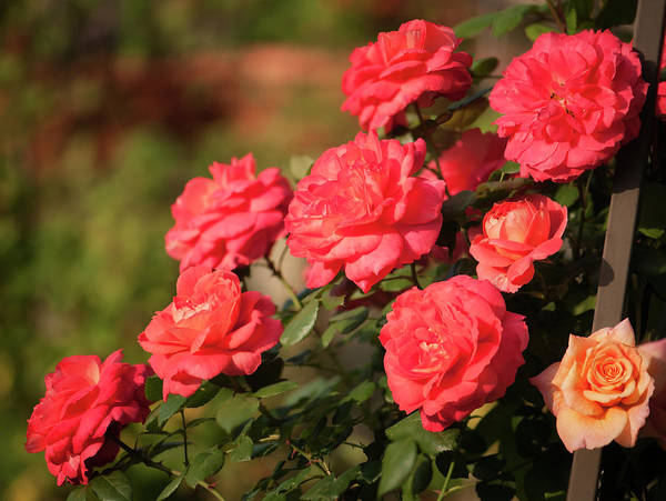 Rockville Photograph - Vibrant Orange Red Rose Bush In Bloom by Maria Mosolova
