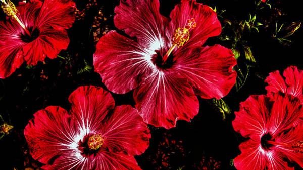 Photograph - Vibrant Red Hibiscus by Donna Proctor
