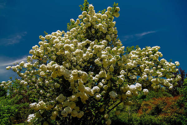 Photograph - Viburnum Opulus Compactum Bush With White Flowers by Alex Grichenko