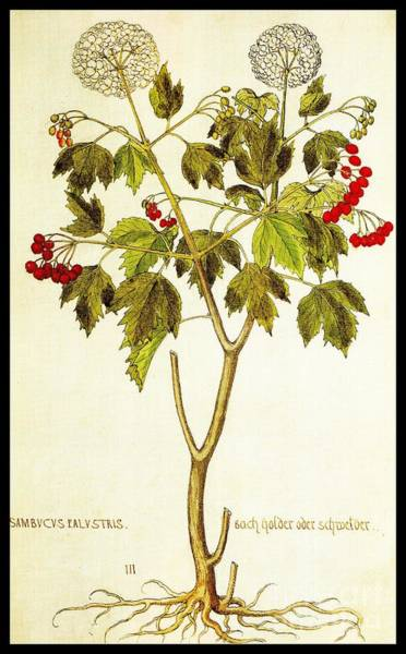 Drawing - Viburnum Opulus by Rose Santuci-Sofranko
