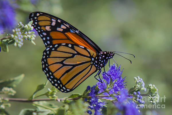 Photograph - Viceroy Butterfly by Ronald Lutz
