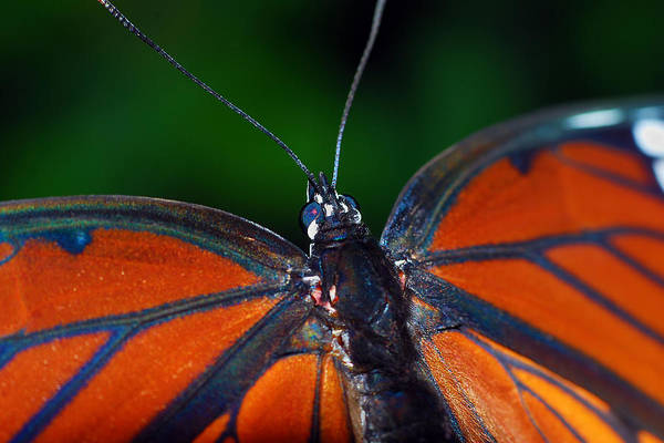 Photograph - Viceroy by Larah McElroy