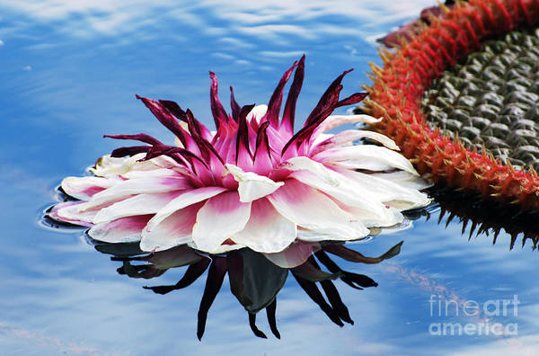 Photograph - Victoria Amazonica Flower by Scott D Welch